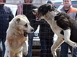 Shocking photo have been released showing wolfhound dogs attacking each other in organised fights set up by breeders
