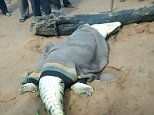 Villagers cut open a crocodile and found the remains of an eight-year-old boy inside