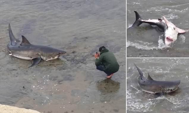 10ft great white shark washes up on a California beach