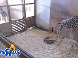 April the giraffe has given birth to a boy after months of waiting. The baby was born slightly before 10am at Animal Adventure Park in Harpursville, New York, on Saturday
