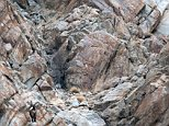 The big cat was just metres from the long-horned Ibex, which was at ease unaware of the fate which awaited it