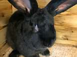 Big future:Had he lived, Simon (pictured) was expected to outgrow the world's biggest rabbit - his 4ft 4in father Darius