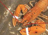 Tristan Wood was fishing in the Irish Sea when he spotted the rare lobster