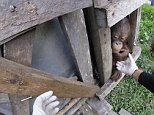 Heart-warming: Footage captures the moment an abused orangutan was freed after spending two years locked up in a dark wooden box