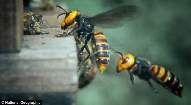 Fight! A poor honeybee (left) comes face to face with a giant Japanese hornet on the doorstep of its own hive in the prelude to a massacre