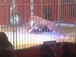 Terrifying: The lion jumped on top of the tamer and attacked him during a performance at a circus in France on Sunday