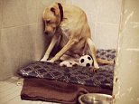 Lana the Labrador's plight touched the hearts of millions of dog lovers in 2015 after a photo of her looking depressed in her kennel (pictured) when her foster family abandoned her went viral