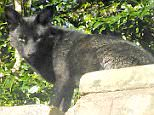 A flurry of sightings of Britain's rarest animal has prompted speculation there is now a breeding pair of elusive black foxes.The most recent was reported by Mateja Kuder, 42, who saw this one sunning itself on a garden wall in Halifax, West Yorks on Wednesday at 7.30am