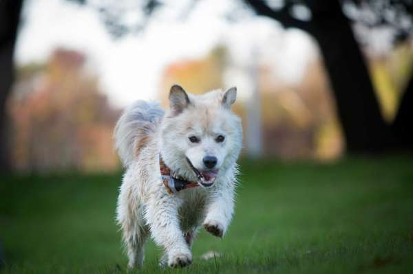 Stoli, a Chow mix dog goes for a run at the large dogs sections of the new Johnny Steele Dog Park which is part of the Buffalo Bayou Park in Houston. Wednesday, Jan. 7, 2015. ( Marie D. De Jesus / Houston Chronicle )