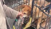 狗贩子为增加重量 给狗狗灌水灌得吐血