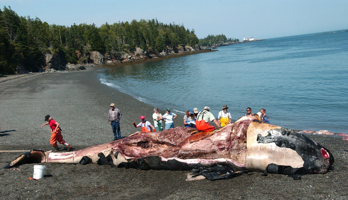 Toxic algae considered possible cause in whale deaths