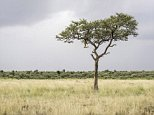 Spot the big cat: Hidden somewhere in the picture, taken in Kenya's Masai Mara, is a camouflaged leopard, heading towards its prey