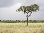 Spot the big cat:Hidden somewhere in the picture, taken in Kenya's Masai Mara, is a camouflaged leopard, heading towards its prey