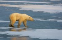 WaPo: Polar Bears Hurt by Climate Change Could Develop Taste for Humans