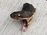 Blood: Thecottonmouth snake looked as though it was alive, writhing in pain
