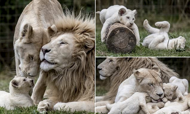 Rare quintuplet white lion cubs play in their enclosure