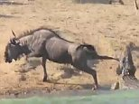 The wildebeest struggled with the crocodile for eight minutes as it was caught in its jaws