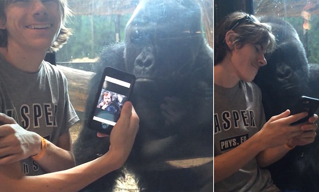 Louisville Zoo's gorilla Jelani 'asks' to see a new picture on man's iPhone