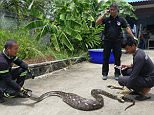 The python opened its mouth wide and curled up its body to slowly release Bobo the cat