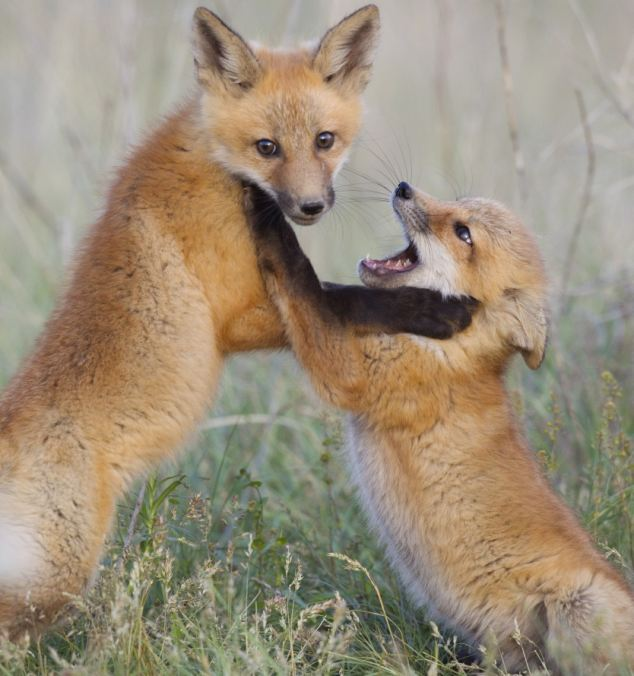 One of the cubs gets distracted by the photographer, while the other tries to get the upper paw