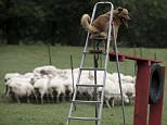 Five-year-old Kit looks after 210 sheep and goats near the Basque Country town of Sodupe relying on just his nose and ears