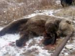 This bear attacked and killed a six-year-old boy as he played near thevillage of Kheta on the Taimyr peninsula in Siberia, Russia