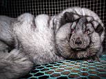 This Arctic fox was cruelly fattened up to produce as much fur as possible to be used in luxury coats and bags