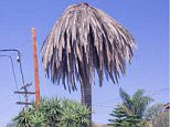 Goodbye, old frond! LA's iconic palms (pictured) are dying as hotter weather attracts parasites and disease. The city will replace most with trees that give more shade to residents