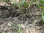 Can you spot the eastern brown snake hidden somewhere in this pile of sticks and leaves?