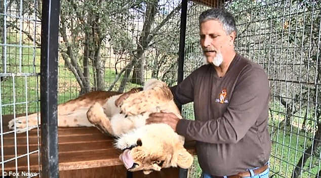 Loved: Mr Anderson is seen scratching one of his sanctuary's lions back in February for an interview that he hoped would inspire others to help the giant cats