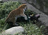 A female zookeeper in Russia is lucky to be alive after she was badly mauled by a male tiger while taking it food. Part of the animal's cage was accidentally left open, allowing it to attack