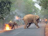 The calf 'screamed in confusion' as it fled while on fire from a 'jeering' mob of men that set it and its mother on fire