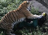 Terrifying:Nadezhda Srivastav, pictured, was pinned down by a tiger in a ten-minute ordeal