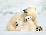 Snow Bears:Children especially will be enchanted by the little brother and sister, who join their mother on an arduous trek from Svalbard Island off Norway, across the melting ice floes