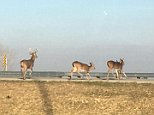 Three doe and a buck were standing on the shoulder of80th Street SW bridge in Cedar Rapids, Iowa when they darted across several lanes and jumped over the bridge to their deaths