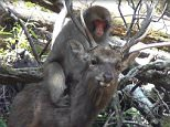 Monkeys have been observed having sex with deer in what scientists believe could be a new behavioural tradition