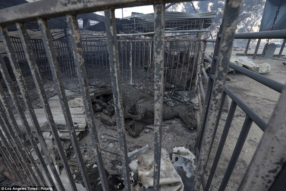 Horses lie in burned-out stables after the Creek Fire swept through the Padilla Ranch. Prior to the fire, the owners had 60 horses, 31 of which survived