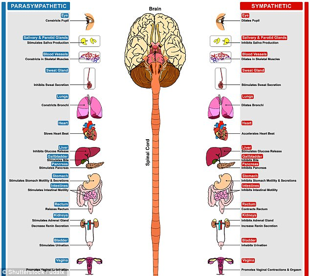 The autonomic system is made up of two parts - the parasympathetic and sympathetic systems - which slow down and speed up that operations of many organs