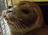 Police say the seal was spotted on Route 6A in Yarmouth Port on Cape Cod late on Friday. The pup is believed to have traveled up a nearby frozen creek