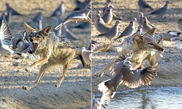 Hungry jackal tries to hunt doves in South Africa