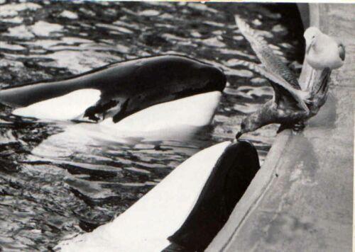 Skana and Hyak 2 (left) feeding gulls