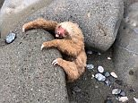 The rare two-toed sloth was soaked in sea water, had sand in its eyes and was stuck between two rocks when it was found on a beach in Punta Tigre, Costa Rica