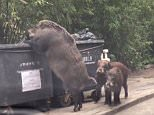 The massive wild boar invades a garbage bin close to a primary school in Hong Kong