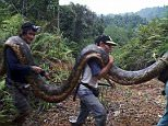 Hunters on the Malaysian island of Borneo shot and killed a 20 foot female python and its tiny mate after they found them inside a tree