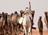 At least 14 camels have been reportedly disqualified from the month-long King Abdulaziz Camel Festival (AFP/File Photo)