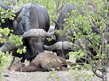 This buffalo shows just how fierce a mother's love can be - as she fought off 14 lions who were devouring her calf