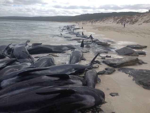 Don't get in the water: 150 beached whales lure deadly sharks