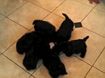 These six pups put on an adorable display as they rotated around their bowl of milk in a puppy pin wheel
