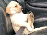 Eight-week-old Labrador Kaia was snapped putting safety first as she sat belted up while being transported around Clovis, California on Wednesday