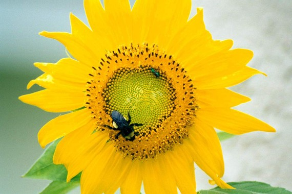Sunflower ACEO